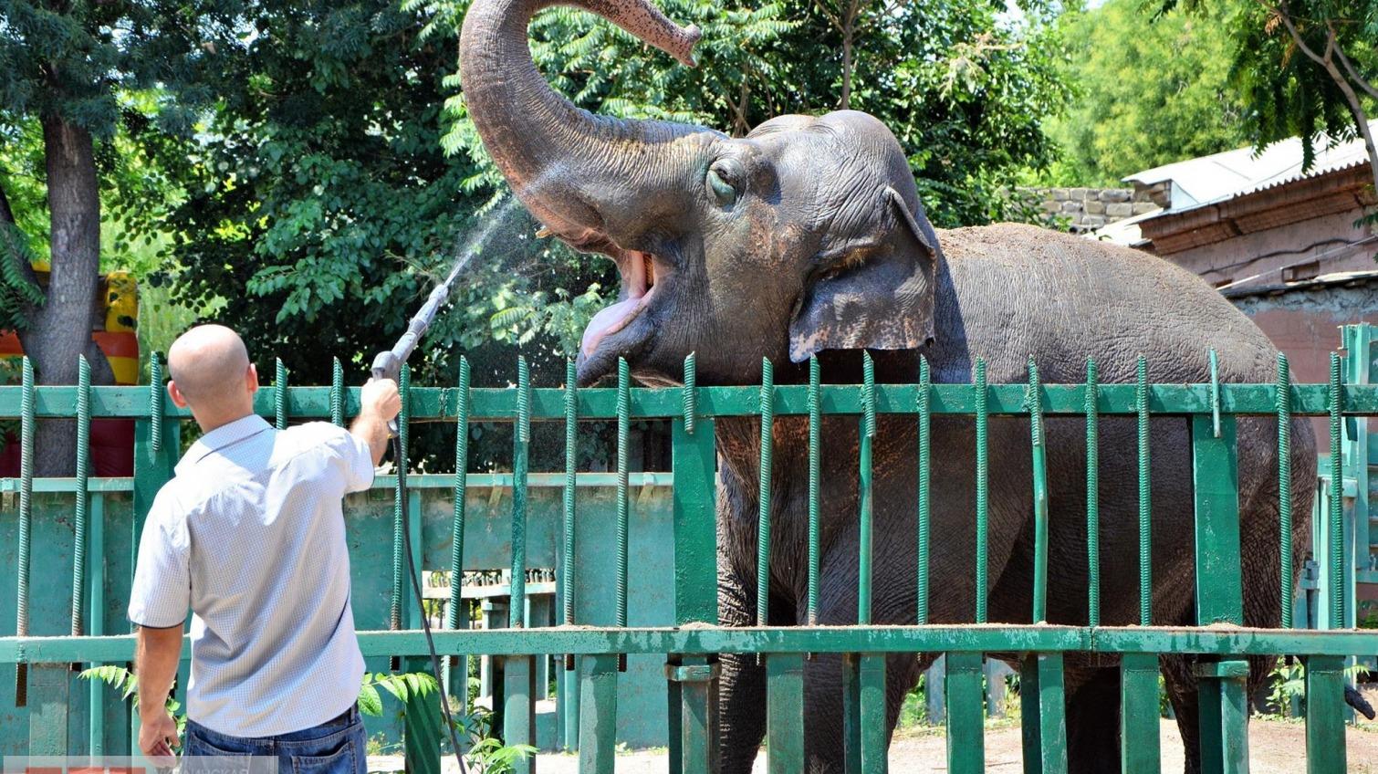 Жара в Одессе: самую большую обитательницу Одесского зоопарка поливают из шланга (фото) «фото»
