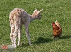 curious-baby-alpaca-or-cria-vicugna-pacos-meets-a-hen-f3jrk3