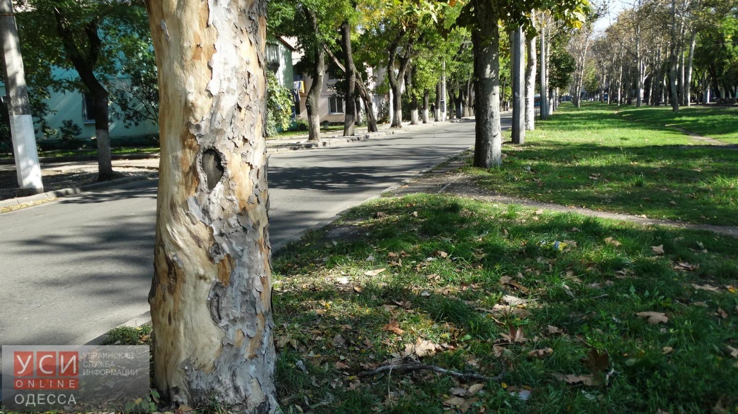В центре Одессы хотят вырубить 255 деревьев «фото»