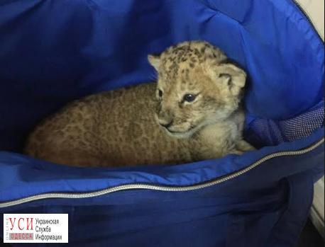 Пограничники пресекли попытку незаконного вывоза маленького львенка изУкраины