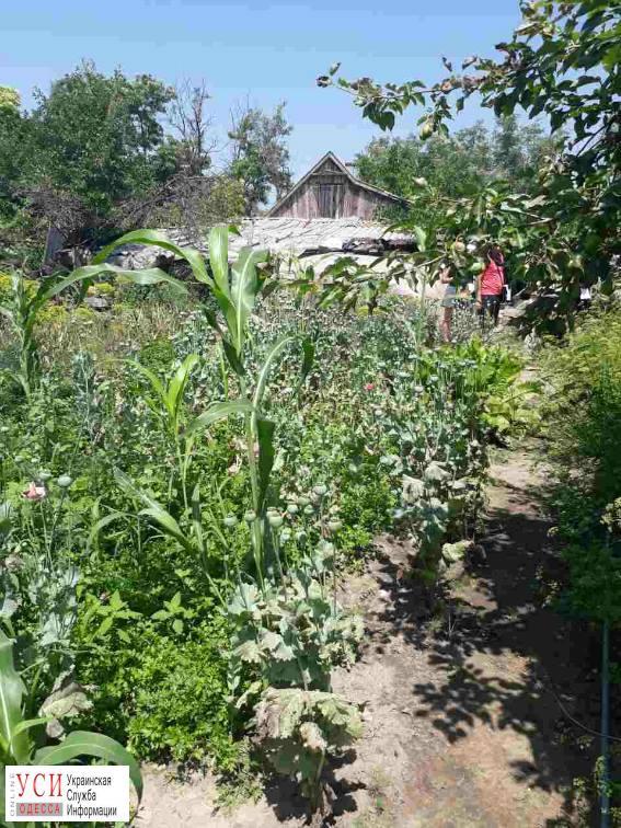 Пенсионерка-рецидивистка вырастила 300 кустов мака на огороде (фото) «фото»