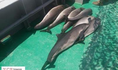 Одесская область: пограничники обнаружили причину массовой гибели дельфинов (фото, видео) «фото»