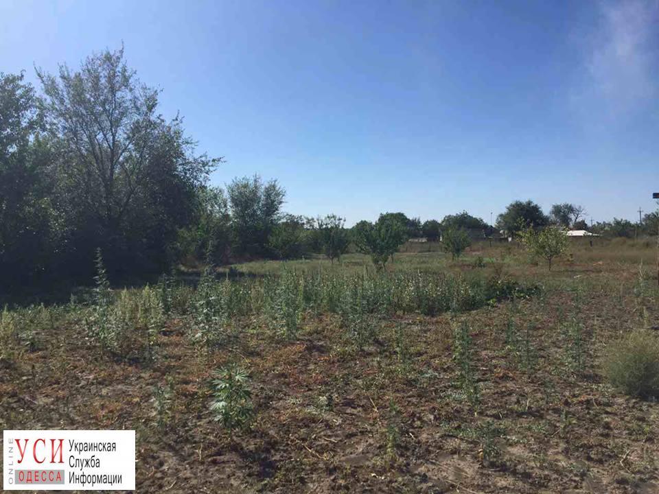 Одесская область: в огороде у пенсионерки нашли 350 кустов конопли (фото) «фото»