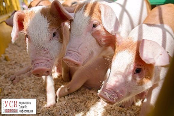 Африканская чума свиней: в Измаиле сняли карантин «фото»