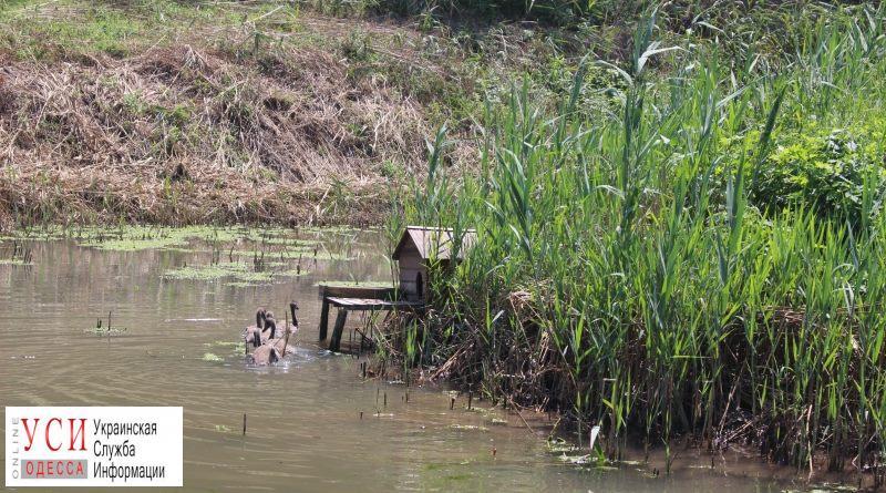 В нацпарке отпустили лебедят в их природную среду обитания (фото) «фото»