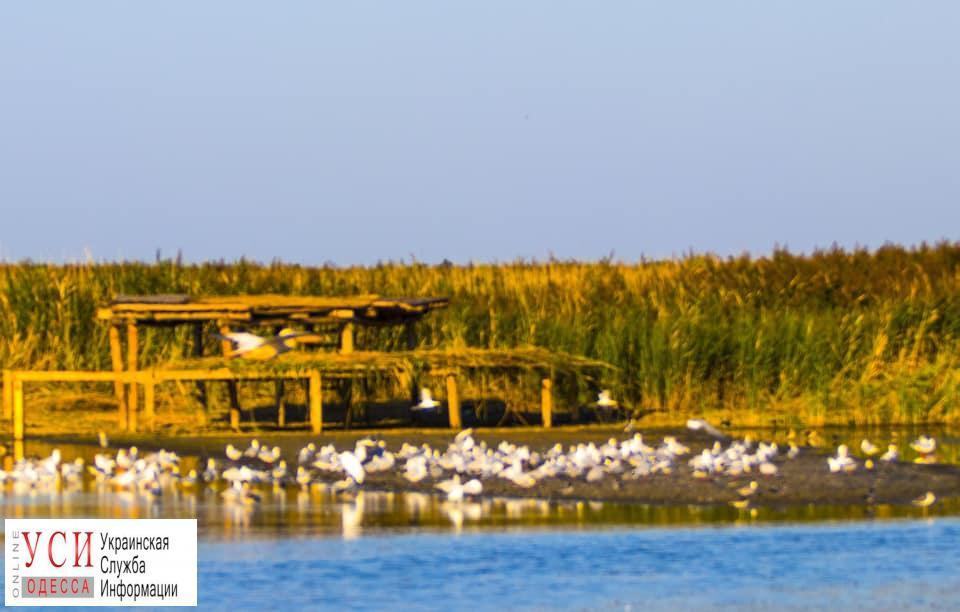 В Одесской области строят остров для гнездования пеликанов (фото) «фото»