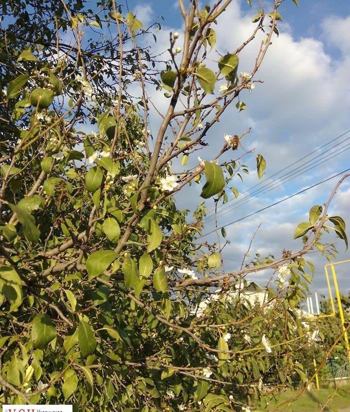 Глобальное потепление: в Одесской области осенью зацвели сливы «фото»