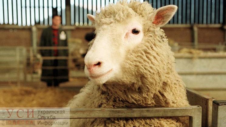 Ветеринары нашли у части спасенных овец опасное заболевание: их придется утилизировать «фото»