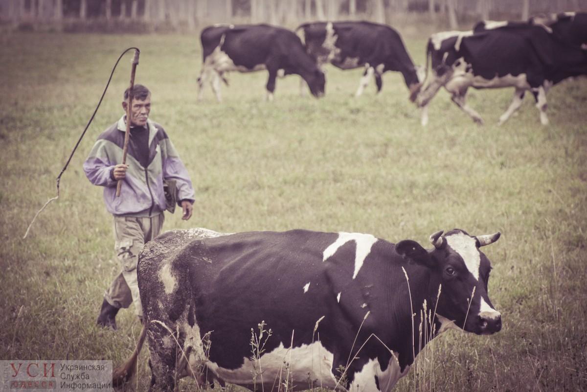 В Одесской области осудили пастуха за угон стада коров «фото»
