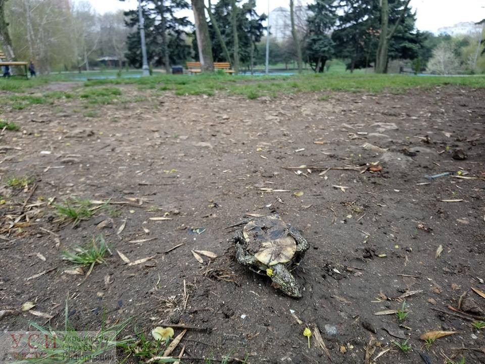 В парке Победы неизвестные вытащили из пруда черепаху и оставили ее умирать (фотофакт) «фото»