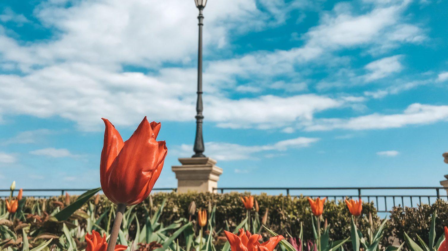 На 16-й станции Большого Фонтана расцвели тюльпаны (фото) «фото»