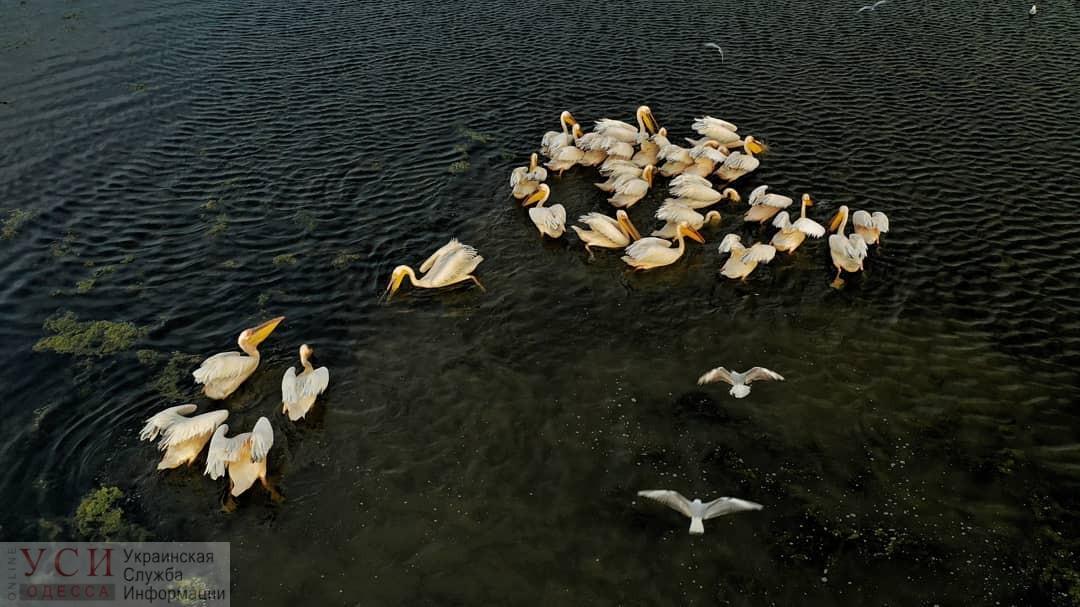 Под Одессой заметили стаю розовых пеликанов (фото) «фото»