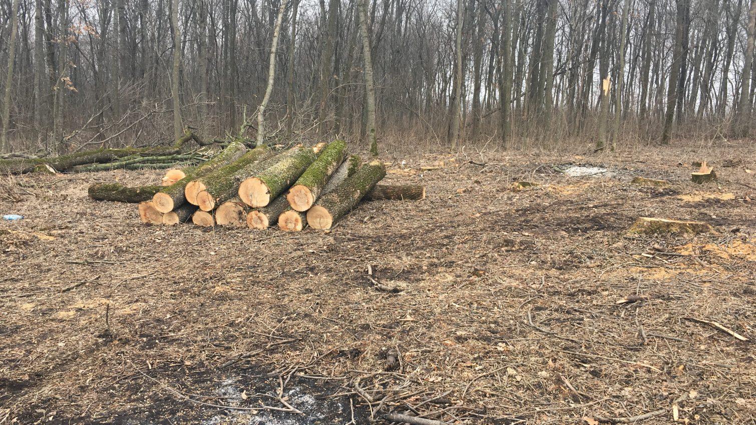 В Одесской области чиновников лесхоза осудят за кражу древесины (фото) «фото»