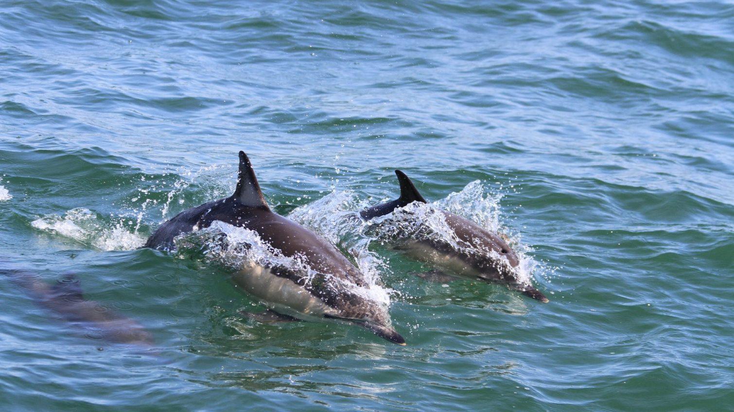 Экологи в Черном море считают и фотографируют дельфинов, чтобы отслеживать миграцию (фото) «фото»