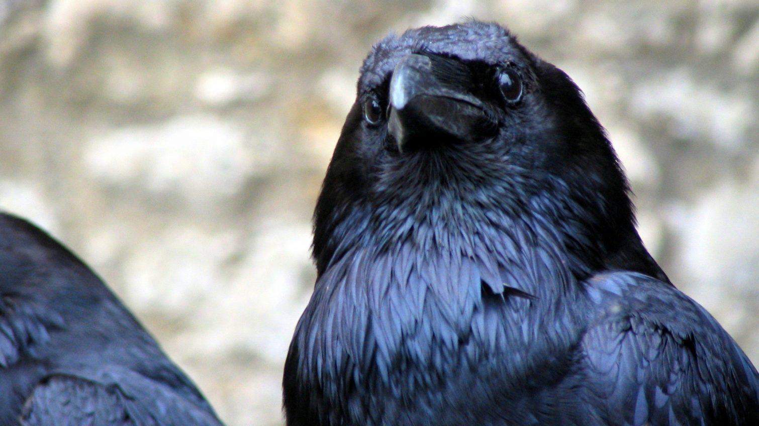 На «7 километре» будут бороться с птицами: они несут на рынок добычу со свалок и отпугивают посетителей (видео) «фото»