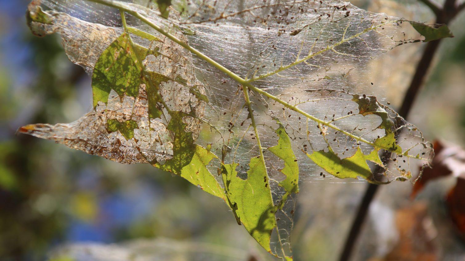 Листву на Фонтане уничтожает Американская белая бабочка: «Горзелентрест» отомстит ей, но в следующем году (фото, видео)) «фото»