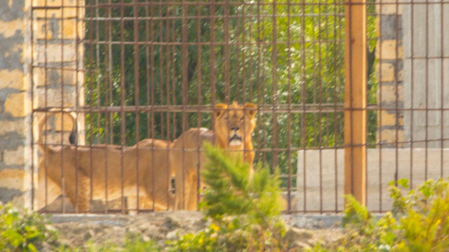 На остров неподалеку от Вилково завезли африканских львов (фото) «фото»