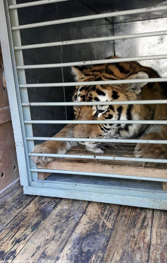 В Одесский зоопарк доставили амурского тигра (фото) «фото»