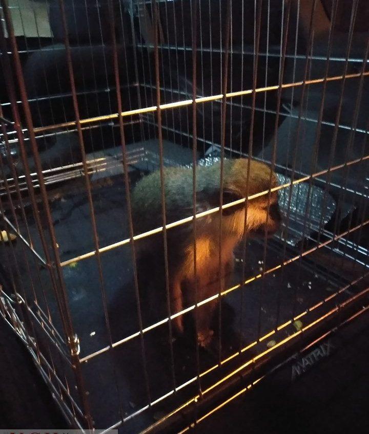 Ручную обезьянку-«фотомодель» с Приморского забрали у владельца за жестокое обращение: у нее вырвали клыки «фото»