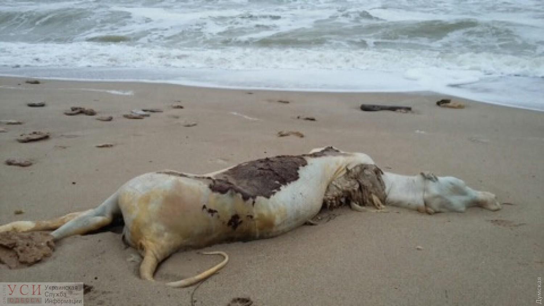 Мертвую корову нашли на пляже в Черноморке «фото»