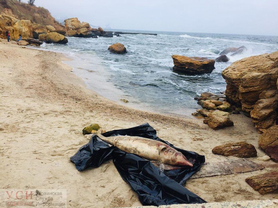 Работники одесского пляжа не знают, что делать с тушей мертвого дельфина (фото) «фото»