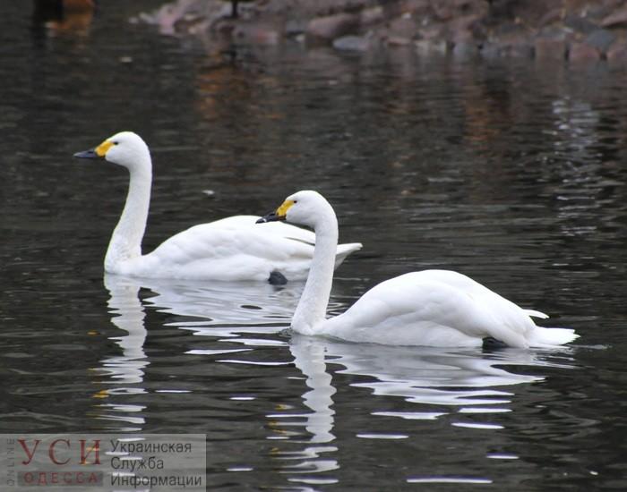 В нацпарке «Тузловские лиманы» зимуют краснокнижные тундровые лебеди (видео) «фото»