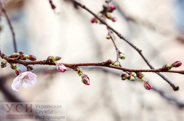 Сакура неожиданно зацвела в начале декабря в Одессе (видео) «фото»