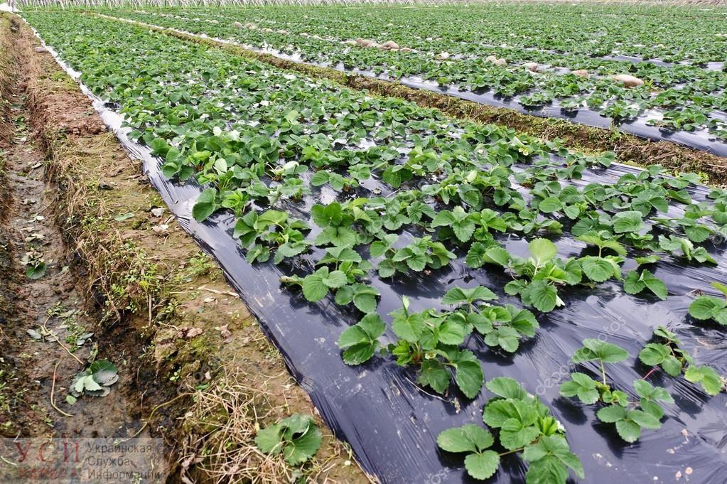 Децентрализация: одесские громады хотят массово выращивать коноплю и клубнику, и построить новые заводы «фото»