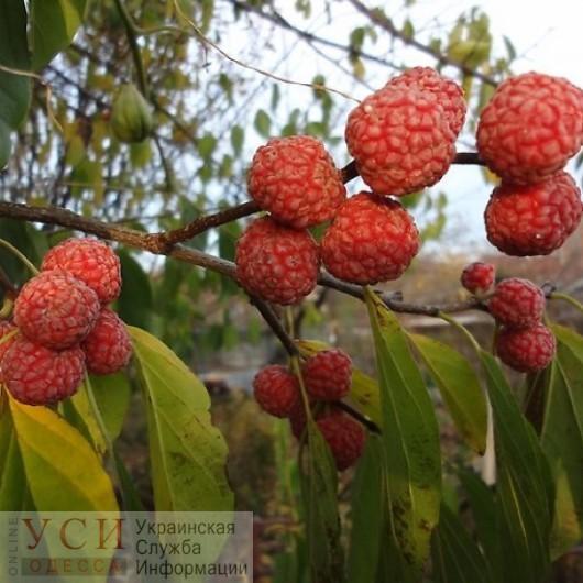 Плоды малинового дерева созрели в ботаническом саду «фото»