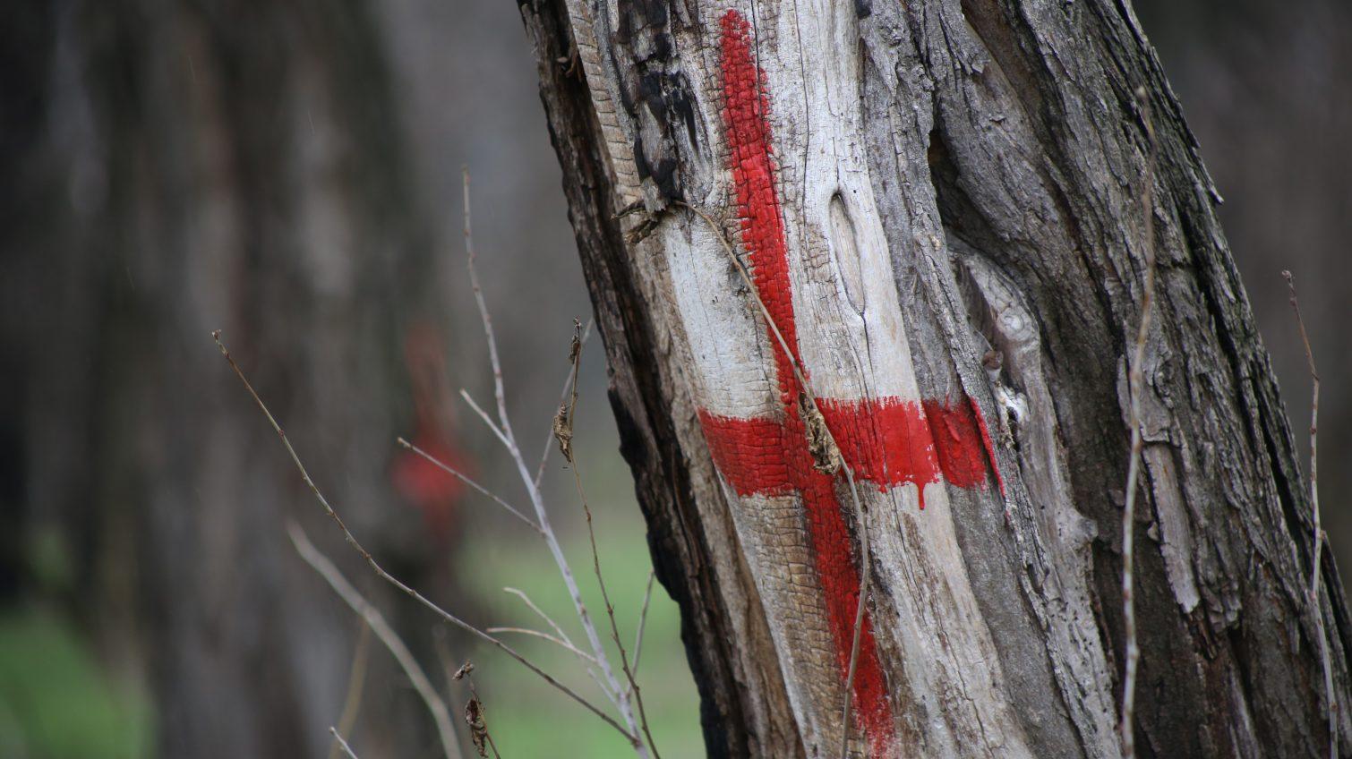 В санатории «Лермонтовский» уверяют, что спиленные деревья были сухими (фото, документ) «фото»