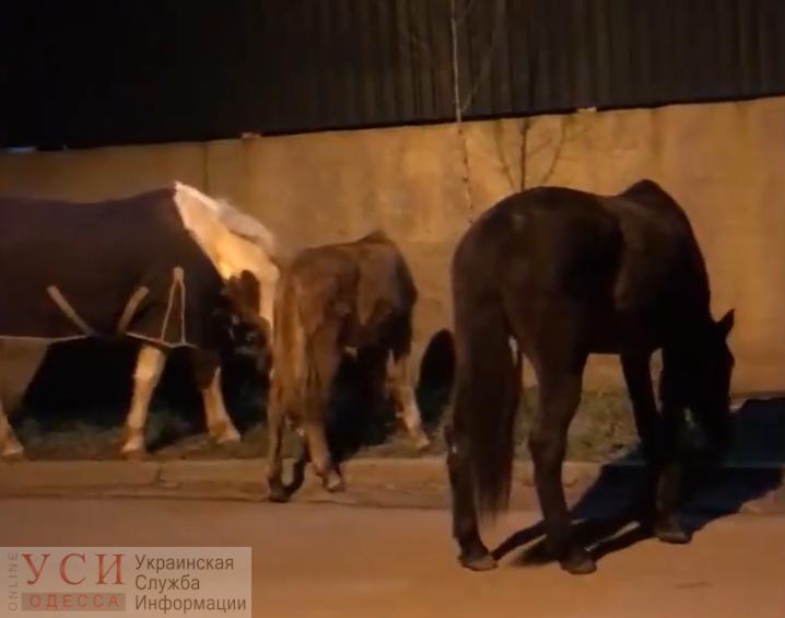 Одесские патрульные ловили четырех лошадей, сбежавших от хозяйки (видео) «фото»
