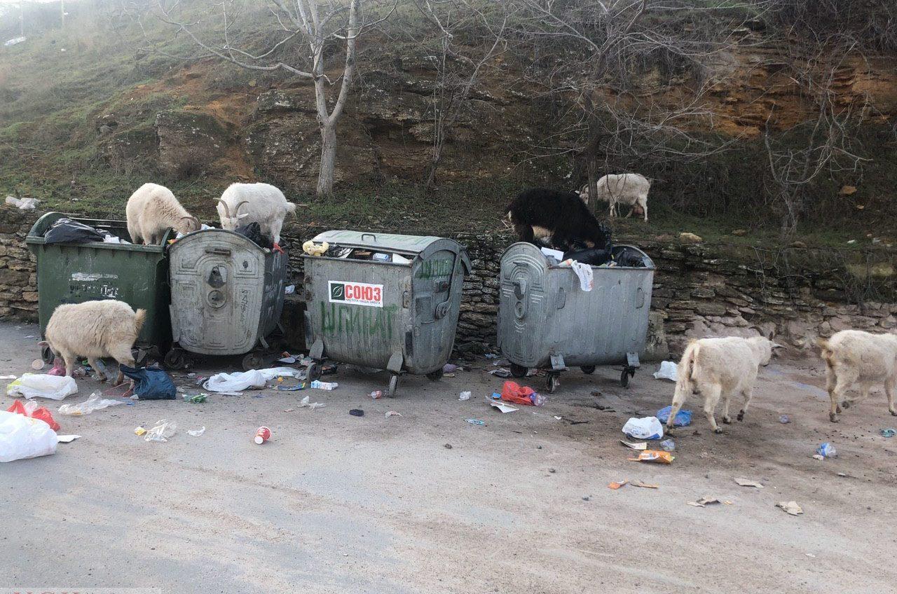 Посреди Аркадии гуляют козы – животные питаются отходами на местной свалке (фото) «фото»