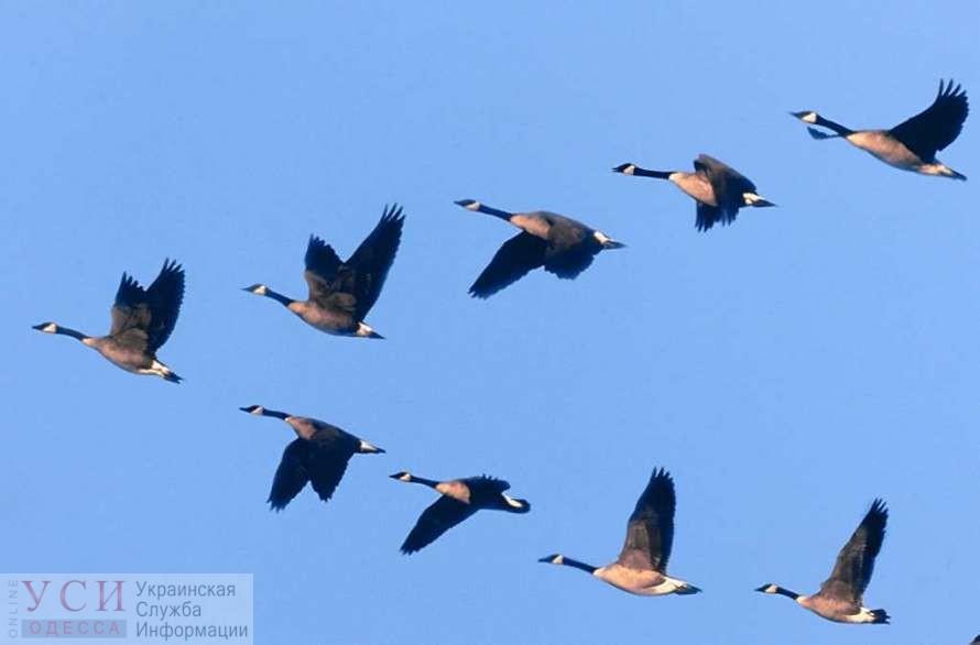 Гуси-лебеди: из-за аномально теплой зимы птицы остались зимовать в Одесской области «фото»