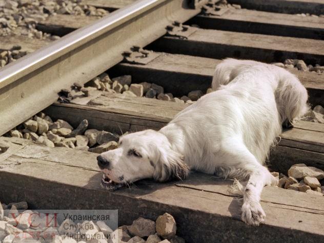 Под Одессой раненая собака уже пять дней лежит на железнодорожных путях – зоозащитники «фото»