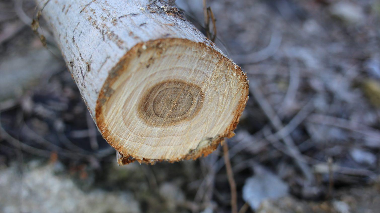 В парковой зоне у Трассы здоровья спилили более сотни деревьев (фото) «фото»
