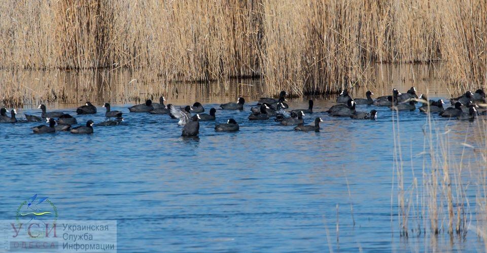 В Одесскую область вернулись симпатичные «водяные курочки» (видео) «фото»