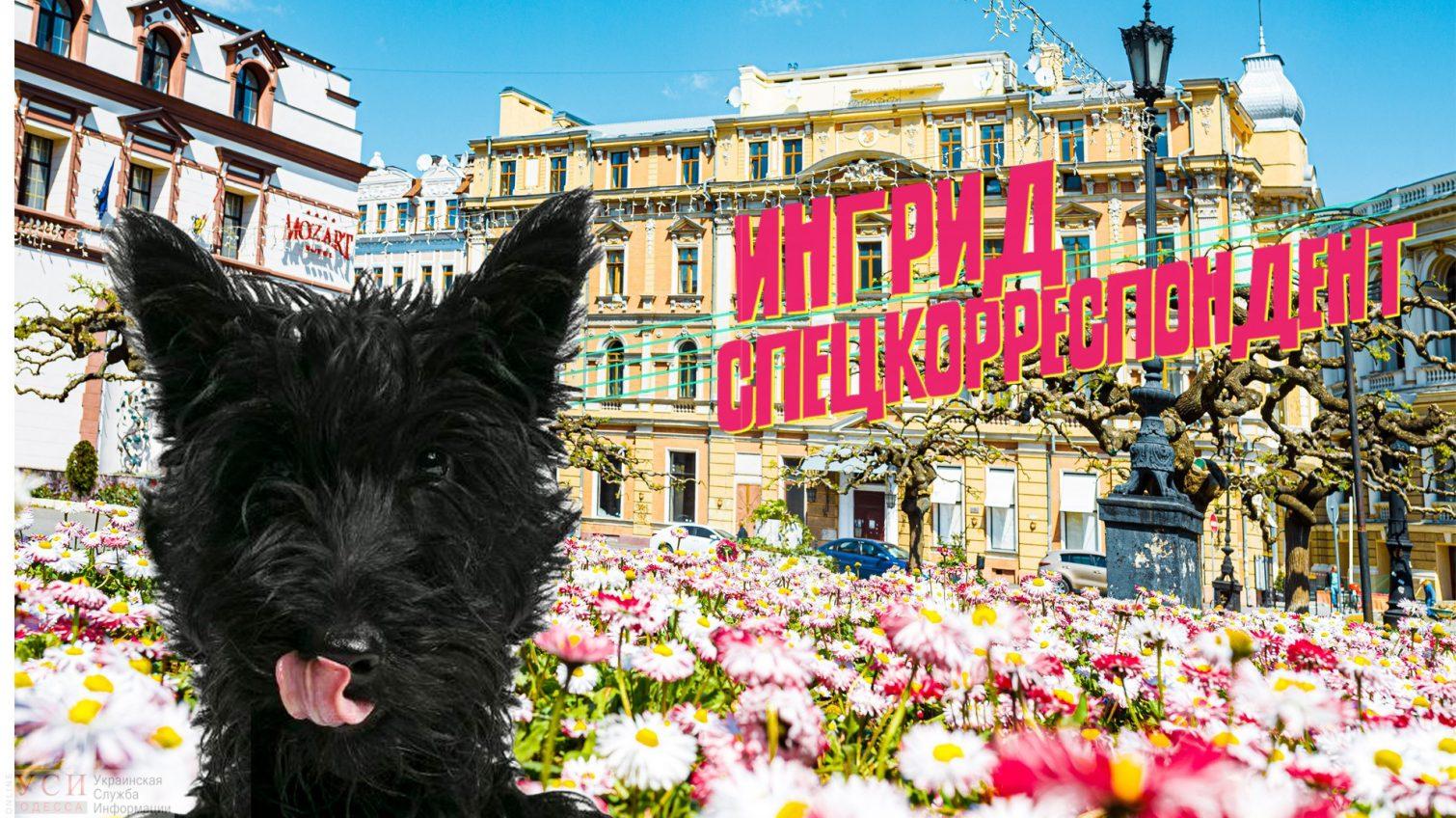 Цветущая Одесса глазами скотчтерьера (видео) «фото»