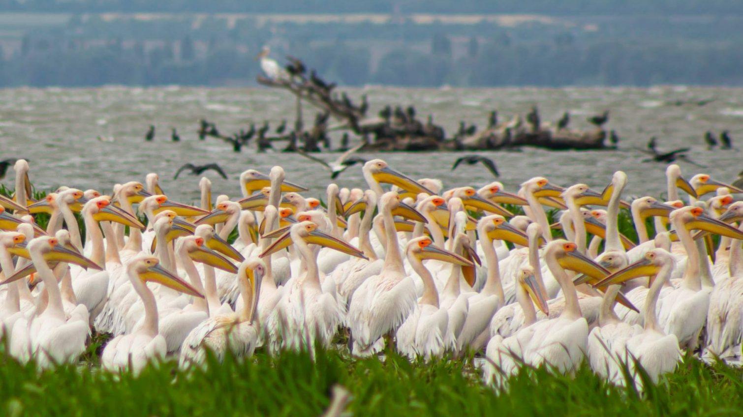 Невероятное зрелище: как живет стая пеликанов в Одесской области (фото, видео) «фото»