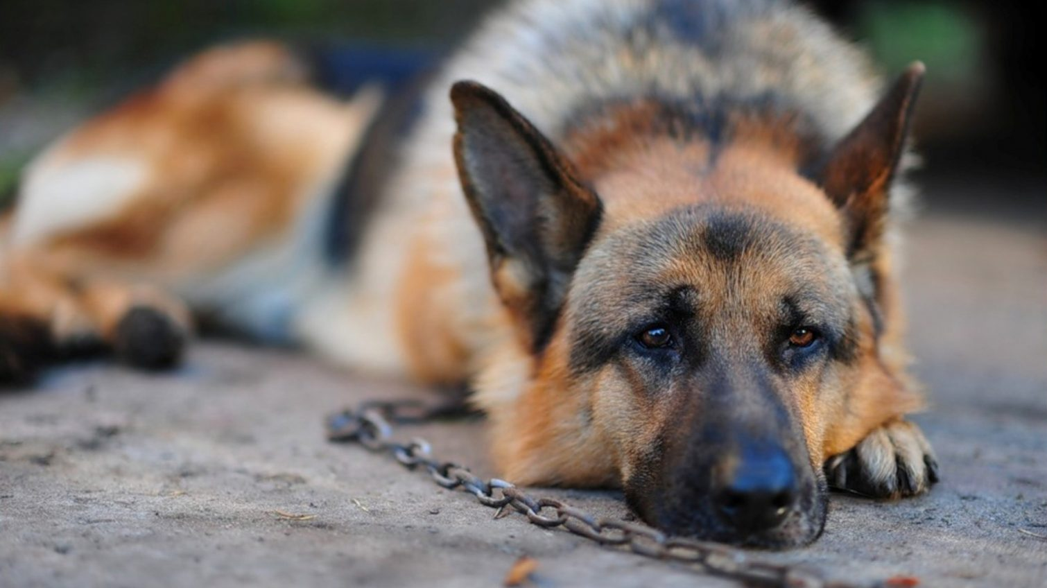 Друзья на продажу: двух собак из Одесской области продали за долги хозяев через систему торгов «фото»