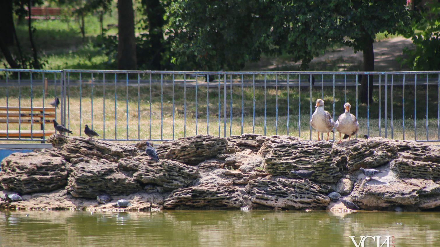 Жара в парке Победы: пернатые плещутся в прохладном пруду (фоторепортаж) «фото»