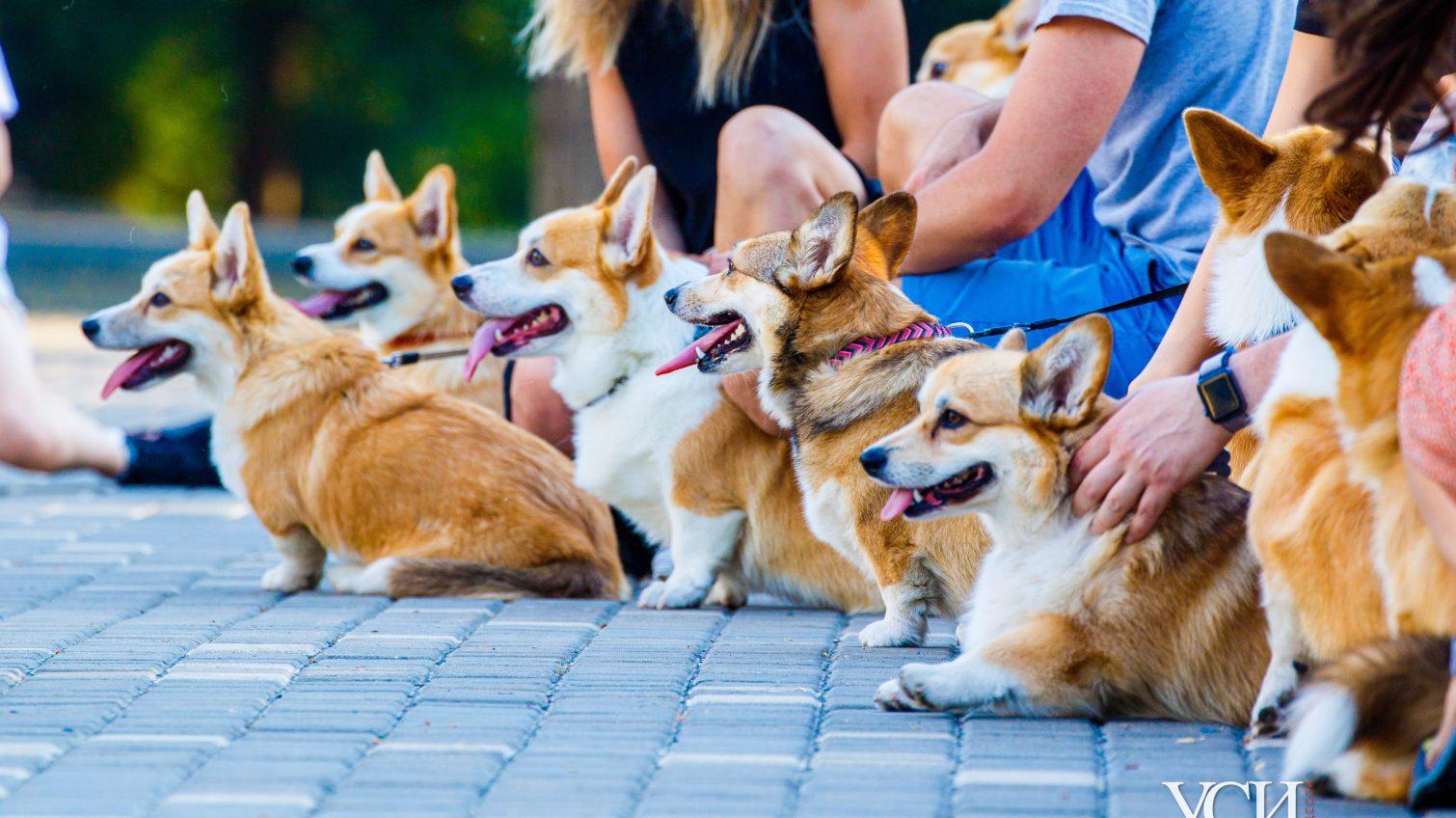 «Корги туса»: владельцы собак корги привели питомцев в парк Шевченко (фоторепортаж) «фото»