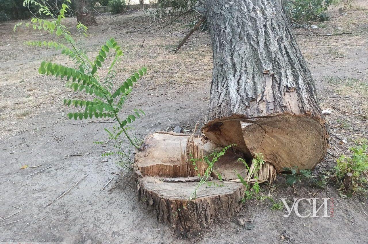 В парке Юность неизвестные продолжают пилить деревья: одно из них упало (фото) «фото»