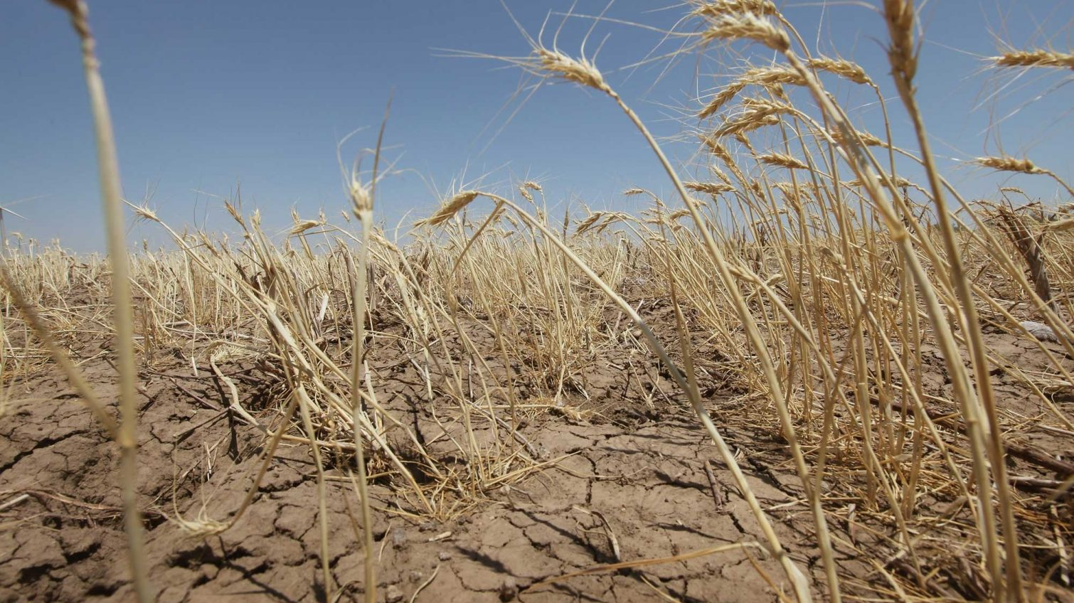 Из-за засухи погибло 3/4 урожая в Болградском районе «фото»