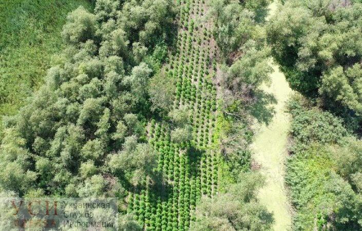 Под Измаилом пограничники нашли плантацию конопли на 1700 кустов с капельным орошением «фото»