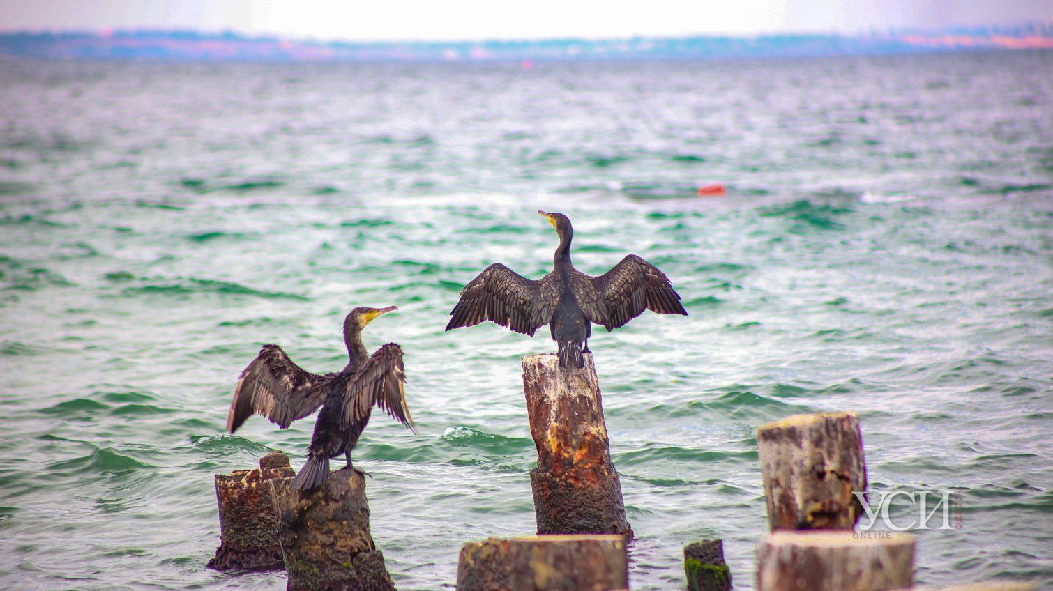 Морские охотники: в Одессу прилетели бакланы «на рыбалку» (фото) «фото»