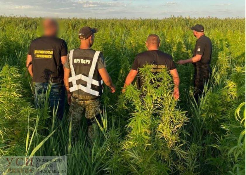 В Одесской области обнаружили целую плантацию конопли (фото) «фото»