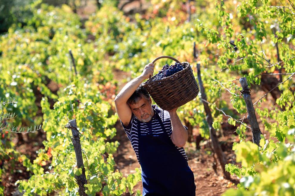 Подарок бессарабским виноделам: в Украине появился новый праздник «фото»