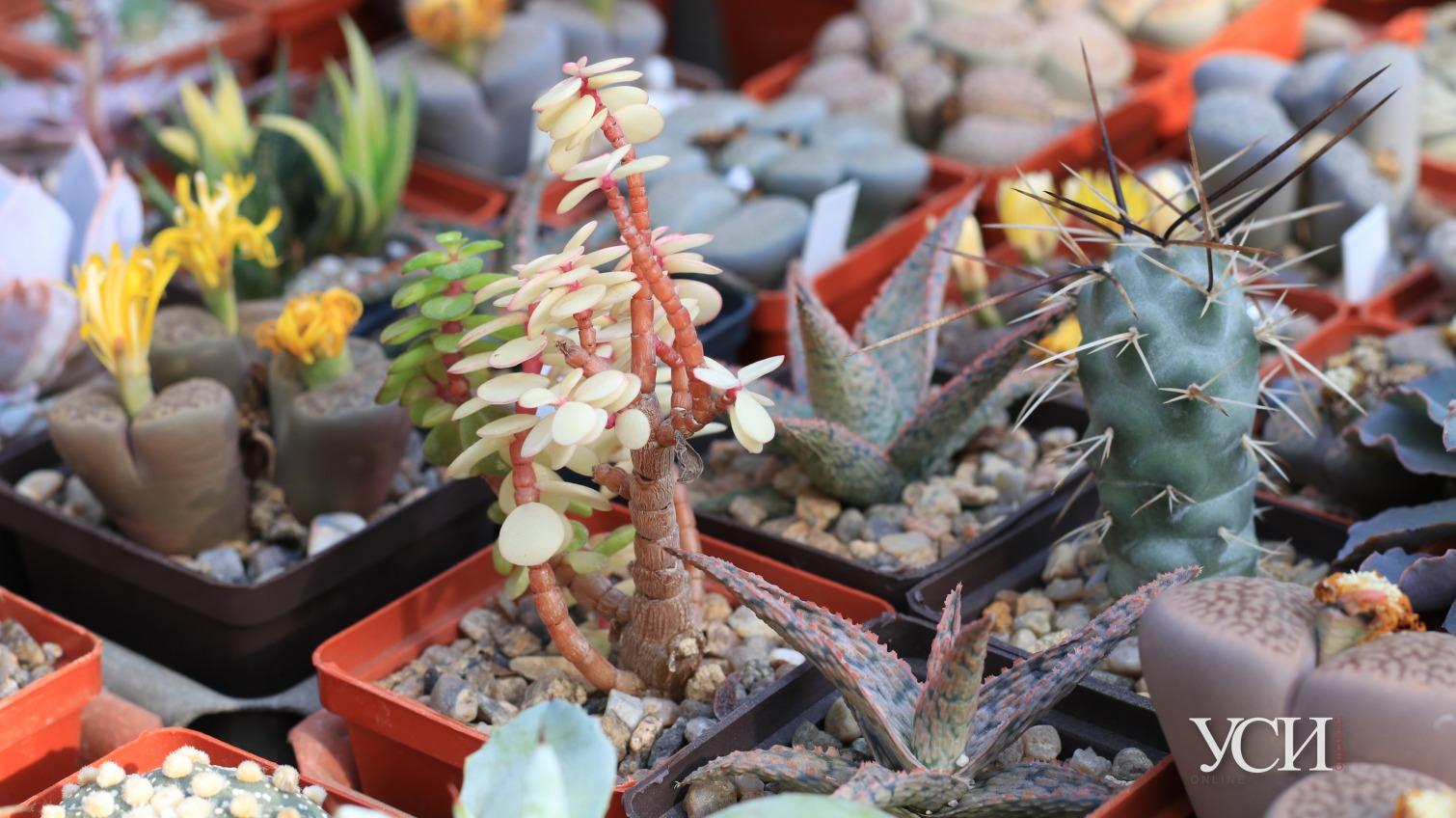 Выставка кактусов: дорогая красота для ленивых (фото) «фото»