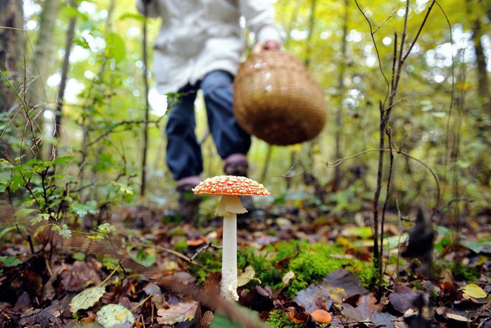 За 5 дней 16 жителей одесского региона отравились грибами «фото»