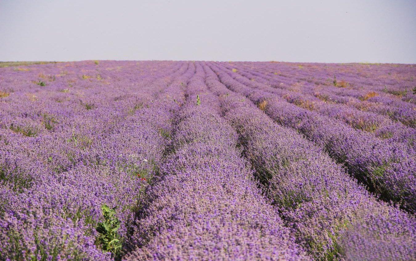 В Одесской области высадят новые поля лаванды (фото) «фото»